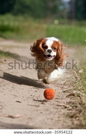 dog running the ball - stock photo