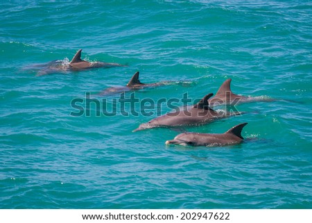 5 dolphins in group, Western Australia