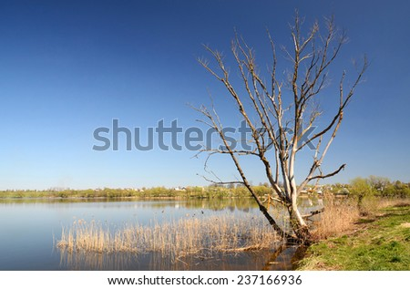 Dry dead tree on the shore of the lake in April