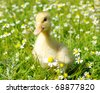 duck in the grass - stock photo