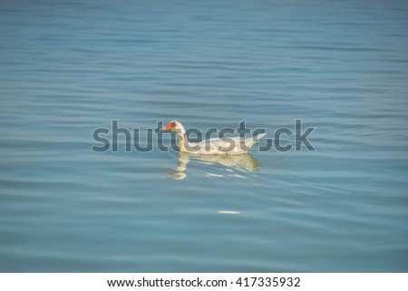 Duck swimming in blue water,  - stock photo