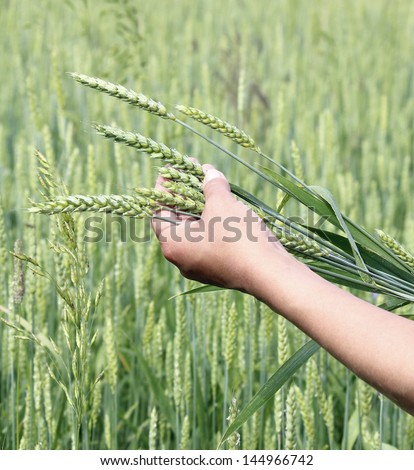 ears wheat in woman hand close-up a background of wheat field - stock photo
