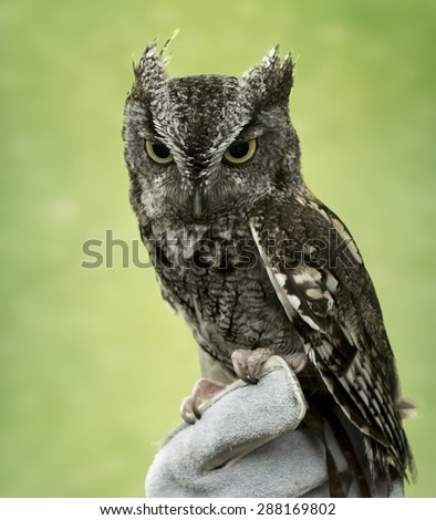 Eastern Screech Owl are found wherever trees are. These supremely camouflaged birds hide out in nooks and tree crannies through the day. Seen here is a mostly grey variety.  - stock photo