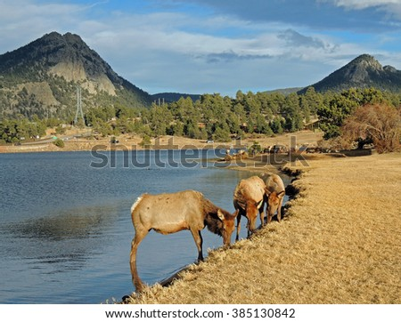 elk cows grazing along the shore in estes park, colorado