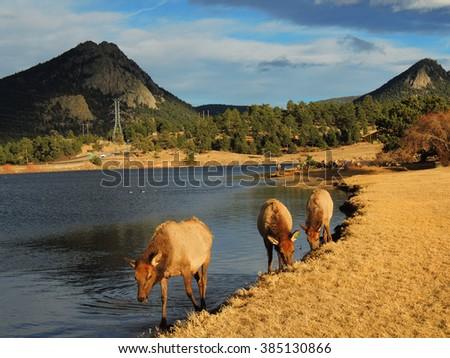 elk cows grazing  in estes park, colorado         - stock photo