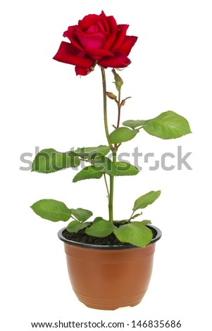 """""""Ena Harkness"""" grade sort  lonely red rose grow in pot isolated - stock photo"""