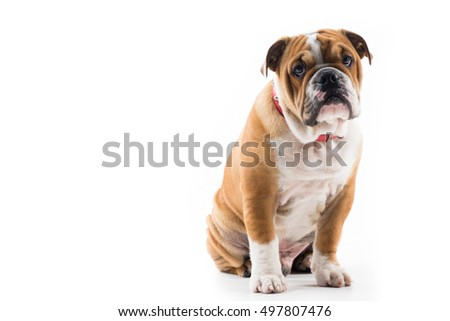English Bulldog sitting against a dark background