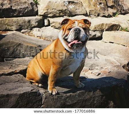 English Bulldog, sitting in front of rocks  - stock photo