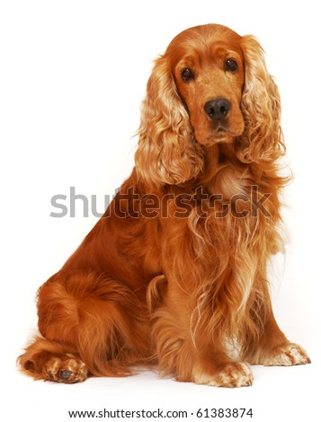 English Cocker Spaniel sitting on isolated white background in the studio - stock photo
