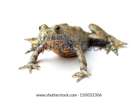European Fire-bellied Toad (Bombina bombina) on white