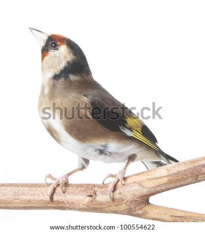European Goldfinch perched isolated on white - stock photo