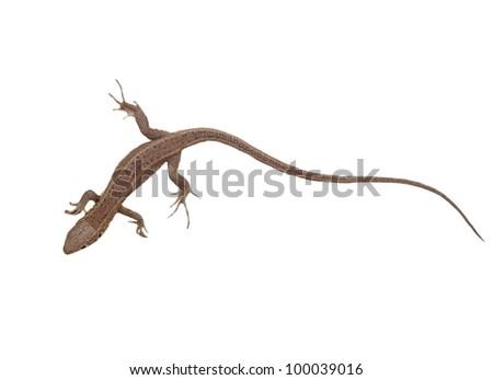 European Green Lizard, juvenile, isolated on white background, Lacerta viridis - stock photo