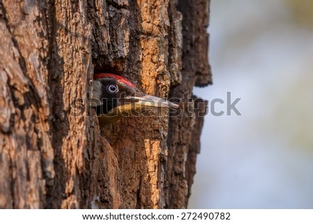 European green woodpecker pokes his head out of the nest - stock photo