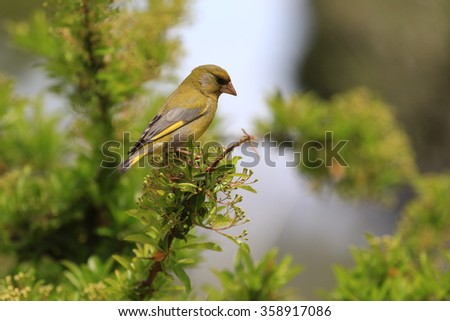 European Greenfinch Chloris chloris - stock photo