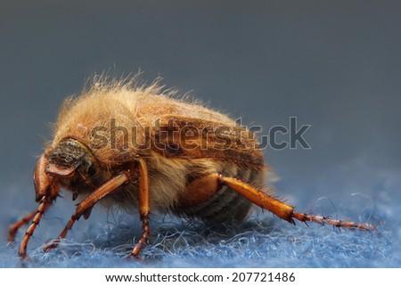 European june beetle (Amphimallon solstitiale) sitting on carpet. - stock photo
