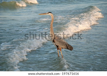 Evening hunting of a Great Blue Heron, Gulf of Mexico - stock photo