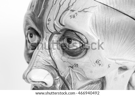 face muscle anatomy with black and white color