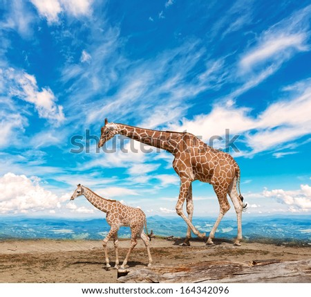 family of giraffes goes against the blue sky - stock photo