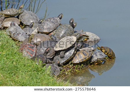 family of water turtles in the lake - stock photo