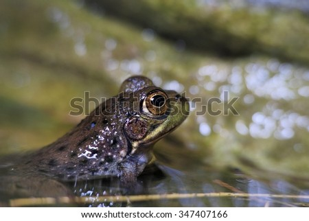 fanged frog