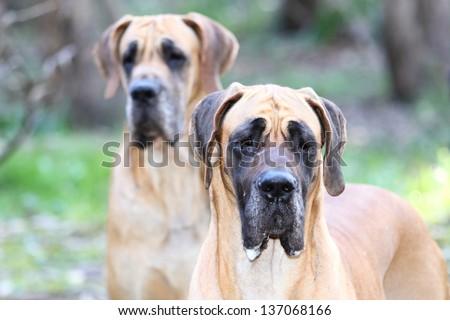 Fawn Great Dane Dog Breed - stock photo