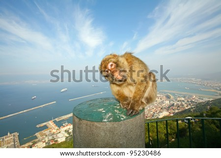 Female Gibraltar Monkeys or Barbary Macaques sitting on the concrete pole that is from the lookout of the city on top of rocks above Gibraltar. - stock photo