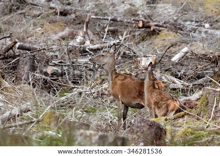 Female Red Deer standing with her Fawn amongst felled trees acting as camouflage in the Scottish Highlands - stock photo