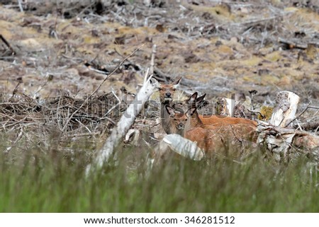 Female Red Deer standing with two of  her Fawns  amongst felled trees acting as camouflage in the Scottish Highlands - stock photo