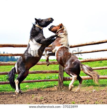 fight of horses - stock photo