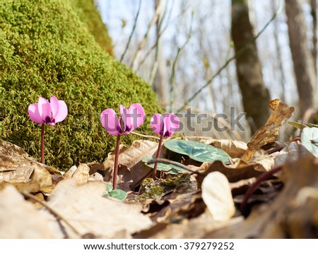 Firsts flowers Cyclamen sprout in spring forest. Green moss on trunk.Awakening of nature.   - stock photo