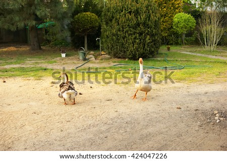 flock of geese grazing on grass - stock photo