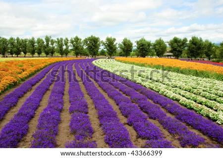 flower field in Hokkaido in Japan - stock photo