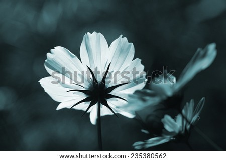 flower in blue tone color - stock photo