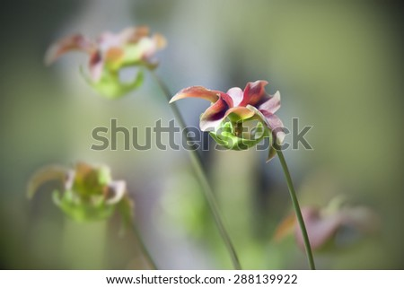 Flower of Carnivorous pitcher plants, Sarracenia purpurea - stock photo