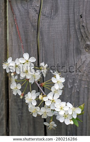 Flowering cherry branch against the background of a wooden fence - stock photo