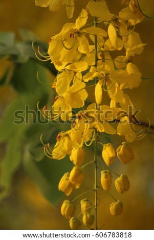 Flowers bloom summer all over thailand stock photo royalty free flowers bloom in summer all over thailand yellow flowers bloom and fall down it mightylinksfo