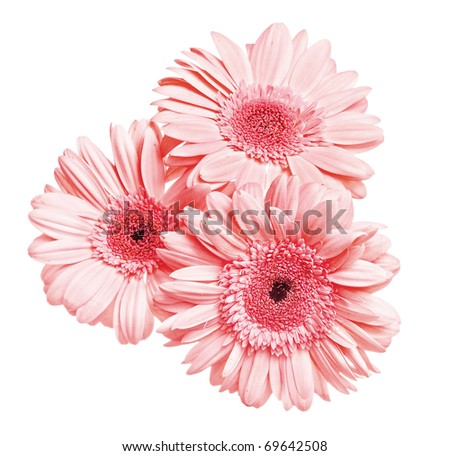 3 flowers gerber isolated on white background - stock photo