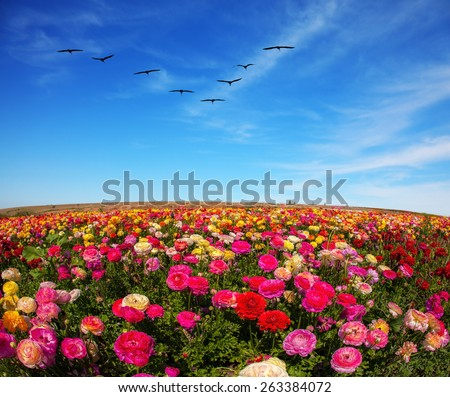 Flowers grow stripes of different colors - red, pink, maroon and yellow. Flies over a field flock of cranes - stock photo