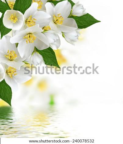 flowers jasmine - stock photo