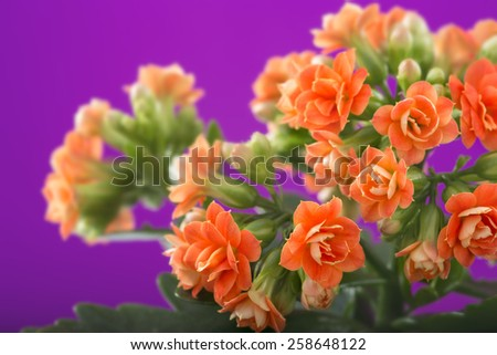 flowers of Kalanchoe. on a purple background. - stock photo