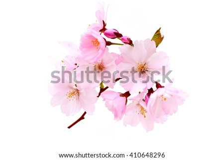 Flowers - pink cherry branch isolated on white background. Blooming.