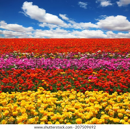 "Flowers planted with broad bands of bright colors - red, yellow and pink. Field of multi-colored decorative buttercups ""Ranunculus Bloomingdale"""