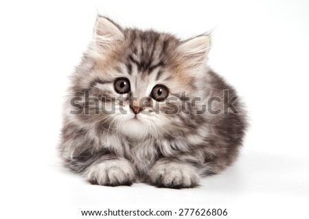 fluffy kitten lies and looks into the camera (isolated on white) - stock photo