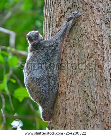 Flying Lemur (Galeopterus variegatus) clings to a tree and rests during the day (nocturnal animal), in Mu Ko Surin National Park, Thailand - stock photo