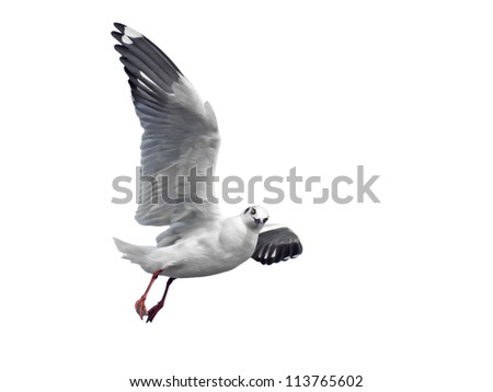 flying seagull isolated on white - stock photo