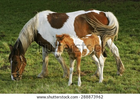 foal and mare horses  white and brown in the meadow - stock photo
