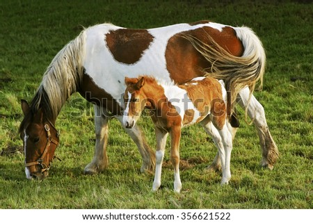foal and mare white and brown in the meadow - stock photo
