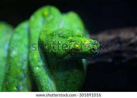 focus dew on green snake head - stock photo