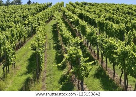 foreshortening of hilly vineyard with multiple lines of plants on the hills surrounding the important industrial town - stock photo
