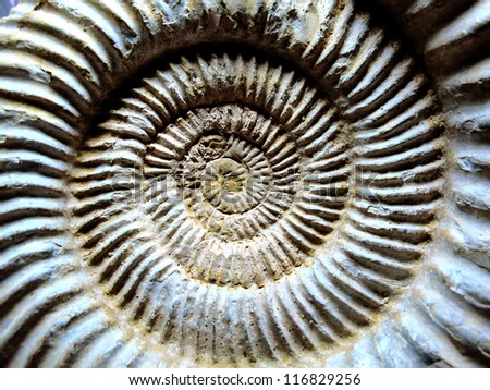 Fossilized shells of ammonites (extinct mollusc) - stock photo
